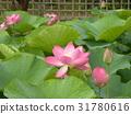 ดอกบัว,ดอกไม้,ฤดูร้อน 31780616