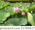 ดอกบัว,ดอกไม้,ฤดูร้อน 31780617