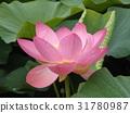 Ogajas桃红色花在千叶公园的 31780987