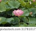 Ogajas桃红色花在千叶公园的 31781017