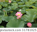 Ogajas桃红色花在千叶公园的 31781025