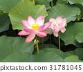 Ogajas桃紅色花在千葉公園的 31781045