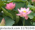 Ogajas桃红色花在千叶公园的 31781046