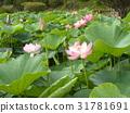 ดอกบัว,ดอกไม้,ฤดูร้อน 31781691