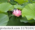 ดอกบัว,ดอกไม้,ฤดูร้อน 31781692