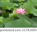 ดอกบัว,ดอกไม้,ฤดูร้อน 31781694