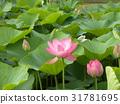 ดอกบัว,ดอกไม้,ฤดูร้อน 31781695