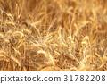 小麥 原野 田地 31782208