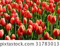 tulipa, red, ice 31783013