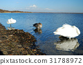 天鵝湖 湖泊 湖 31788972