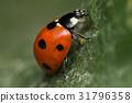 A beautiful ladybug - Coccinella septempunctata 31796358