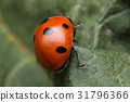 A beautiful Ladybird 31796366
