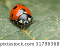 A beautiful Ladybird 31796368