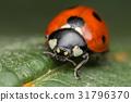A beautiful ladybug - Coccinella septempunctata 31796370
