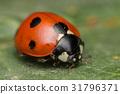 A beautiful ladybug - Coccinella septempunctata 31796371