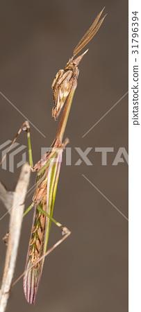 A close-up portrait of a mantis 31796394