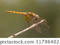 A close-up of a beautiful dragonfly 31796402