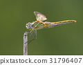 A close-up of a beautiful dragonfly 31796407