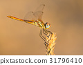 A close-up of a beautiful dragonfly 31796410