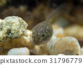 Tiny tadpole of a toad 31796779