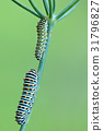 A closeup of a machaon caterpillar 31796827