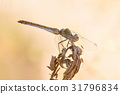 A beautiful dragonfly close portrait 31796834