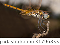 A beautiful dragonfly close portrait 31796855