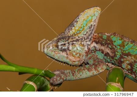 Chameleon Chamaeleo Calyptratus 31796947