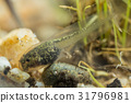Tiny tadpole of a toad 31796981