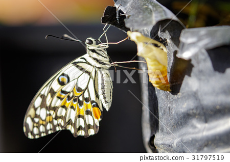Image of The Lime Butterfly on nature background. 31797519