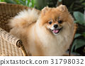 happy pomeranian dog cute pet smile friendly 31798032