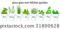 Set of vector culinary herbs in white pots  31800628