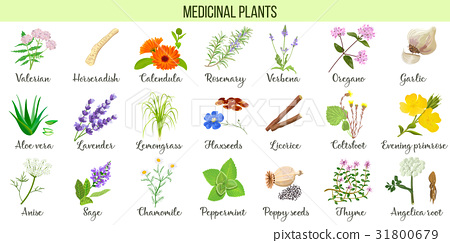 Big vector set of medicinal plants.  31800679