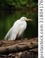 Heron Ardea alba 31804176