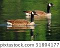 Wild goose Branta canadensis 31804177