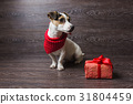 Jack Russell Terrier with festive gift box. 31804459