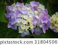 Penny mac, Hydrangea macrophylla 31804506