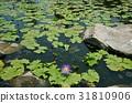 ดอกไม้ของลิลลี่น้ำ 31810906