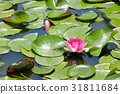 water, lily, water-lily 31811684