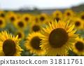 sunflower, sunflowers, bloom 31811761
