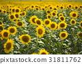 sunflower, sunflowers, bloom 31811762
