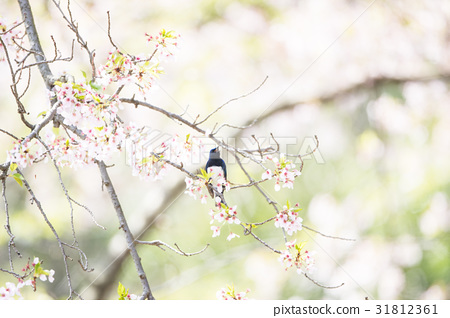 Cherry blossoms and blue birds 31812361