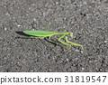 螳螂 螳 蟲子 31819547