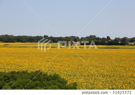 남 프랑스 아를르의 해바라기 밭 31825572