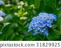 수국, 자양화, 꽃 31829925