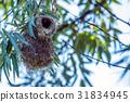 Eurasian penduline tit or Remiz pendulinus 31834945