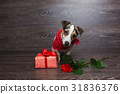 Jack Russell Terrier with festive gift box. 31836376