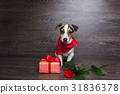 Jack Russell Terrier with festive gift box. 31836378