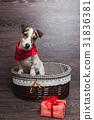 Jack Russell Terrier in brown basket 31836381