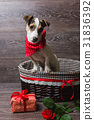Jack Russell Terrier in brown basket 31836392